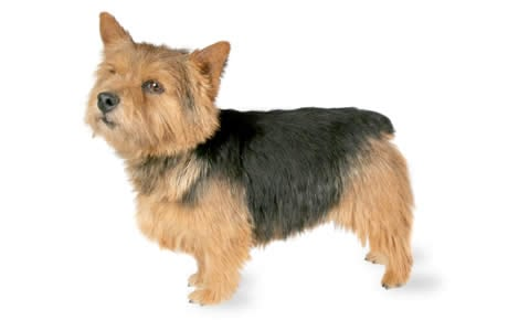 Norwich Terrier Dog Breed Information, Pictures, Characteristics ...