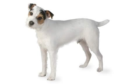 How much should a terrier mix weight