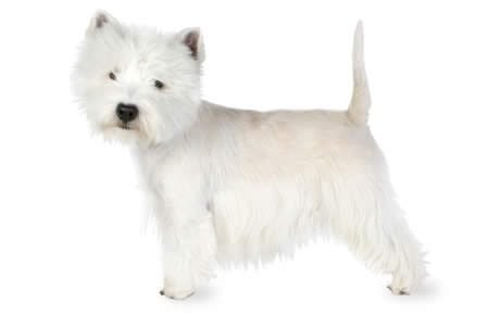 79e13eed020 West Highland White Terrier Dog Breed Information