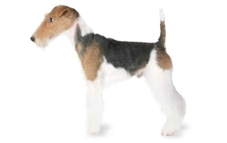 Hard Times For Foxs Version Of Fair And >> Fox Terrier Dog Breed Information Pictures Characteristics Facts
