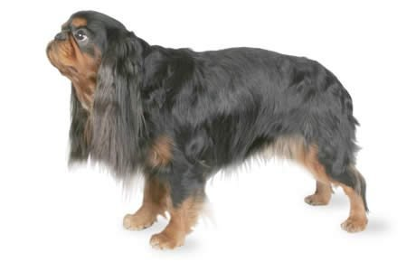 English Toy Spaniel Dog Breed Information, Pictures