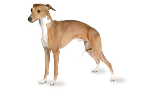 Italian Greyhound Dog Breed Information Pictures