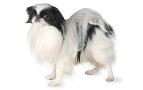 Japanese Chin Dog Breed Information, Pictures