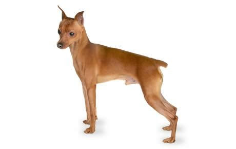 Miniature Pinscher Dog Breed Information Pictures
