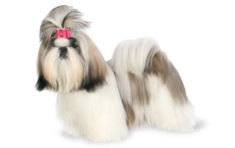 Shih Tzu Dog Breed Information Pictures Characteristics