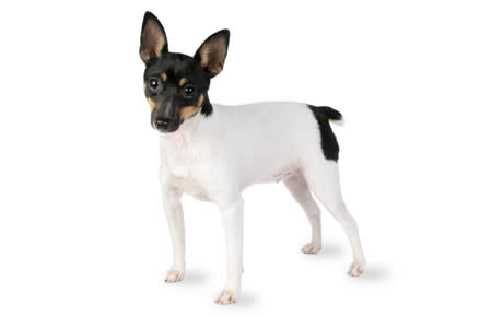 The Toy Fox Terriers Are Intelligent And Easy To Train. Theyu0027re A Toy  Breed, Making Them A Good Size For Even The Tiniest Of Apartments.