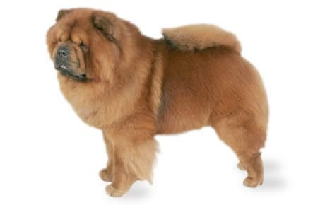 Chow Chow Dog Breed Information, Pictures, Characteristics & Facts