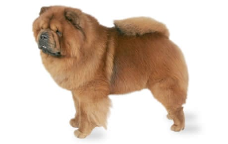 Chow Chow Dog Breed Information, Pictures, Characteristics ...