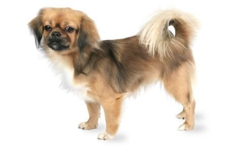 Tibetan Spaniel Dog Breed Information, Pictures