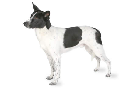 Canaan Dog Breed Information Pictures Characteristics Amp Facts Dogtime