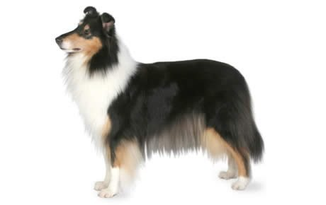 Collie Dog Breed Information, Pictures, Characteristics