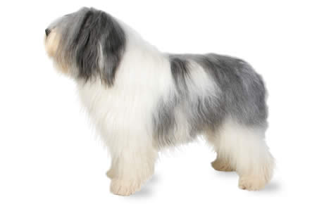 Polish Lowland Sheepdog Dog Breed Information, Pictures