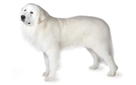 Think, that golden pyrenees adult weight opinion you