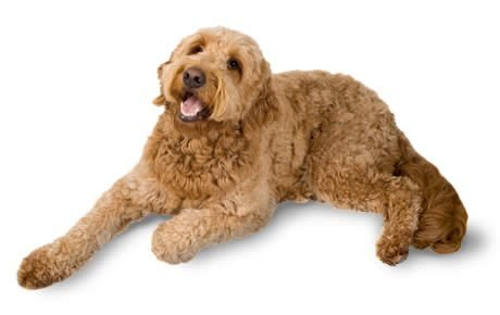 Goldendoodle dog breed information pictures characteristics amp facts