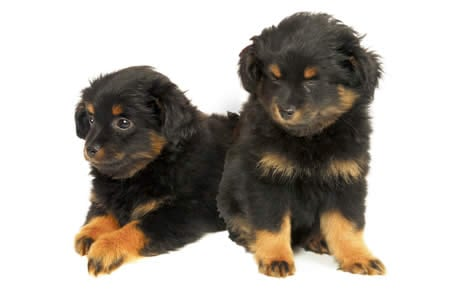 Yorkipoo Dog Breed Information Pictures Characteristics
