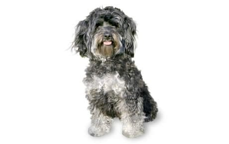 Maltipoo Dog Breed Information, Pictures, Characteristics