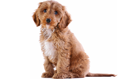 Cockapoo Dog Breed Information Pictures Characteristics