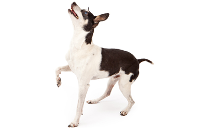 Rat Terrier Dog Breed Information, Pictures, Characteristics