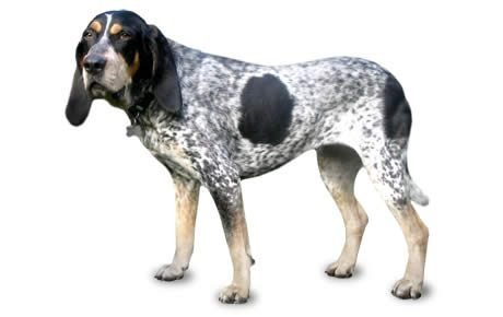 bluetick coonhound dog breed information pictures