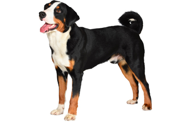 Appenzeller Sennenhunde Dog Breed Information Pictures