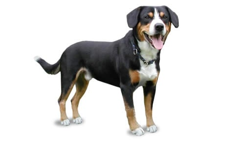 Entlebucher Mountain Dog Breed Information Pictures