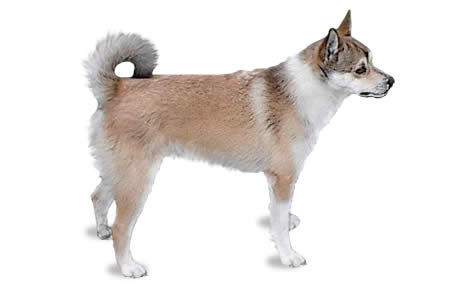 Norwegian Lundehund Dog Breed Information Pictures Characteristics