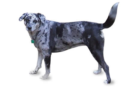 Catahoula Leopard Dog Breed Information Pictures
