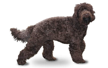 Bringing Home Portuguese Water Dog Puppy
