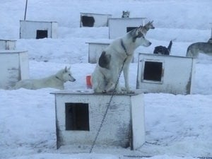 Iditarod dogs face unthinkable suffering — you can help