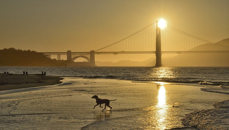 A dog runs in the water near a beach with the Golden Gate Bridge in the background.