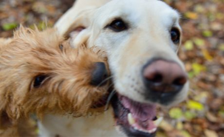 Help Your Dogs Get Along Better With Each Other