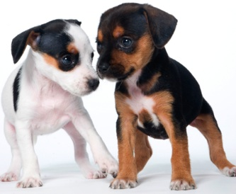 Puppy socialization and habituation