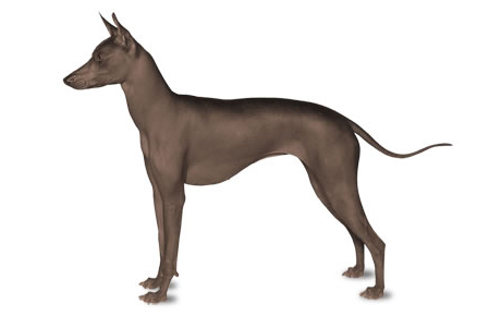 Xoloitzcuintli Dog Breed Information Pictures Characteristics Facts