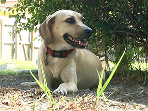 Shelter dog saves teenage volunteer from attack