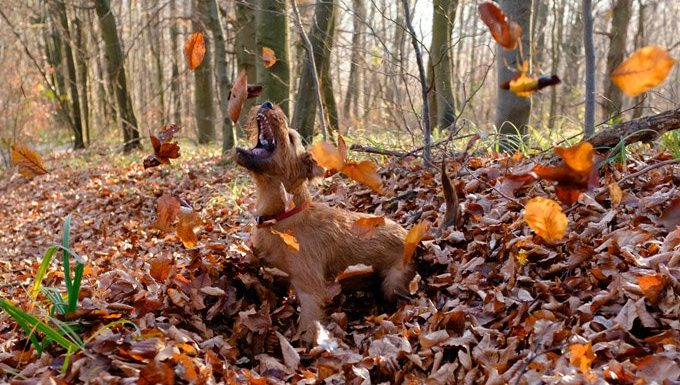 Irish Terrier plays in the leaves