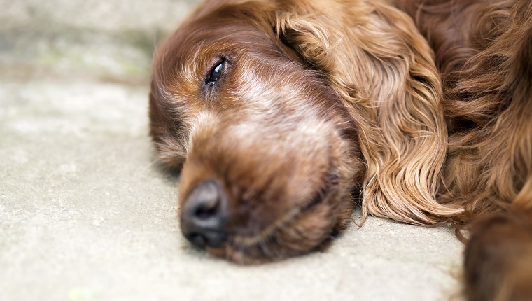 Portrait of a beautiful, cute old Irish Setter dog