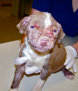pit bull pup burned by acid is in recovery dogtime