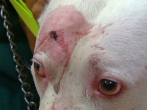 Pit Bull takes a bullet during home invasion, saves owner