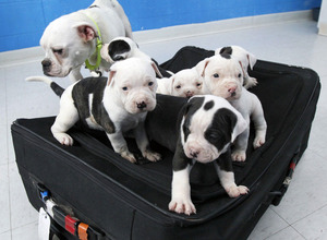 Man dumps puppies in a suitcase with luggage tags