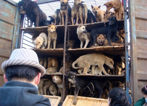 500 caged dogs saved from slaughter in China