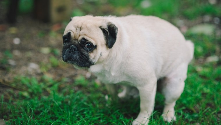 Dog Constipation: Symptoms, Causes, And Treatments - Dogtime