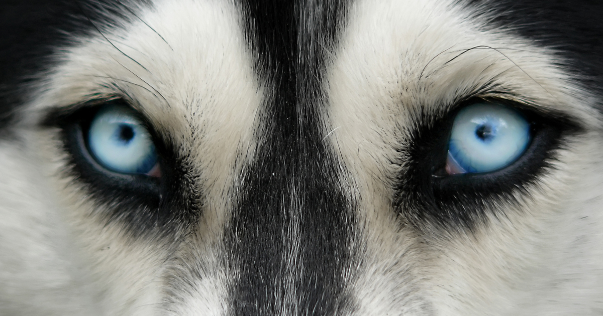 What Are Cataracts In Dogs Eyes