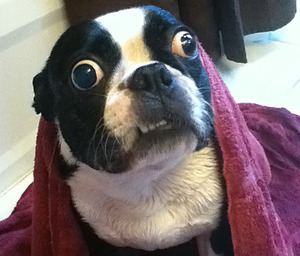 Boston Terrier holds world record for largest eyes