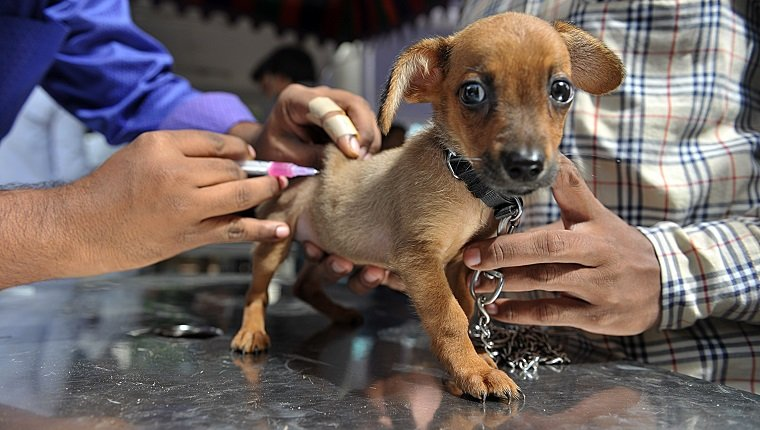rabies in dogs symptoms causes prevention dogtime an n veterinary clinic employee gives a rabies vaccination to a pet dog at a