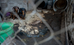 HSUS report: Is the AKC helping protect puppy mills?