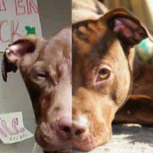 Patrick the Pit Bull recovers