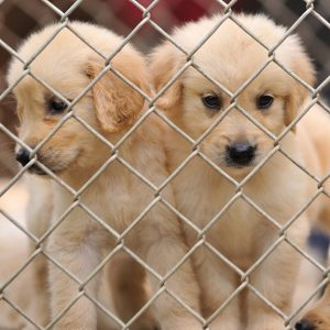 Ohio dog breeders plead not guilty to 723 counts of cruelty