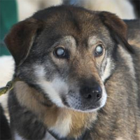 With brother's help, blind sled dog keeps on running