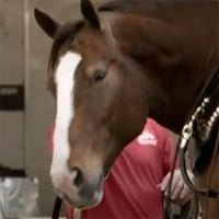 "2013 Budweiser Super Bowl Ad — The Clydesdales: ""Brotherhood"""