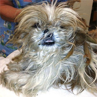 Elusive Shih Tzu rescued after two years on the lam